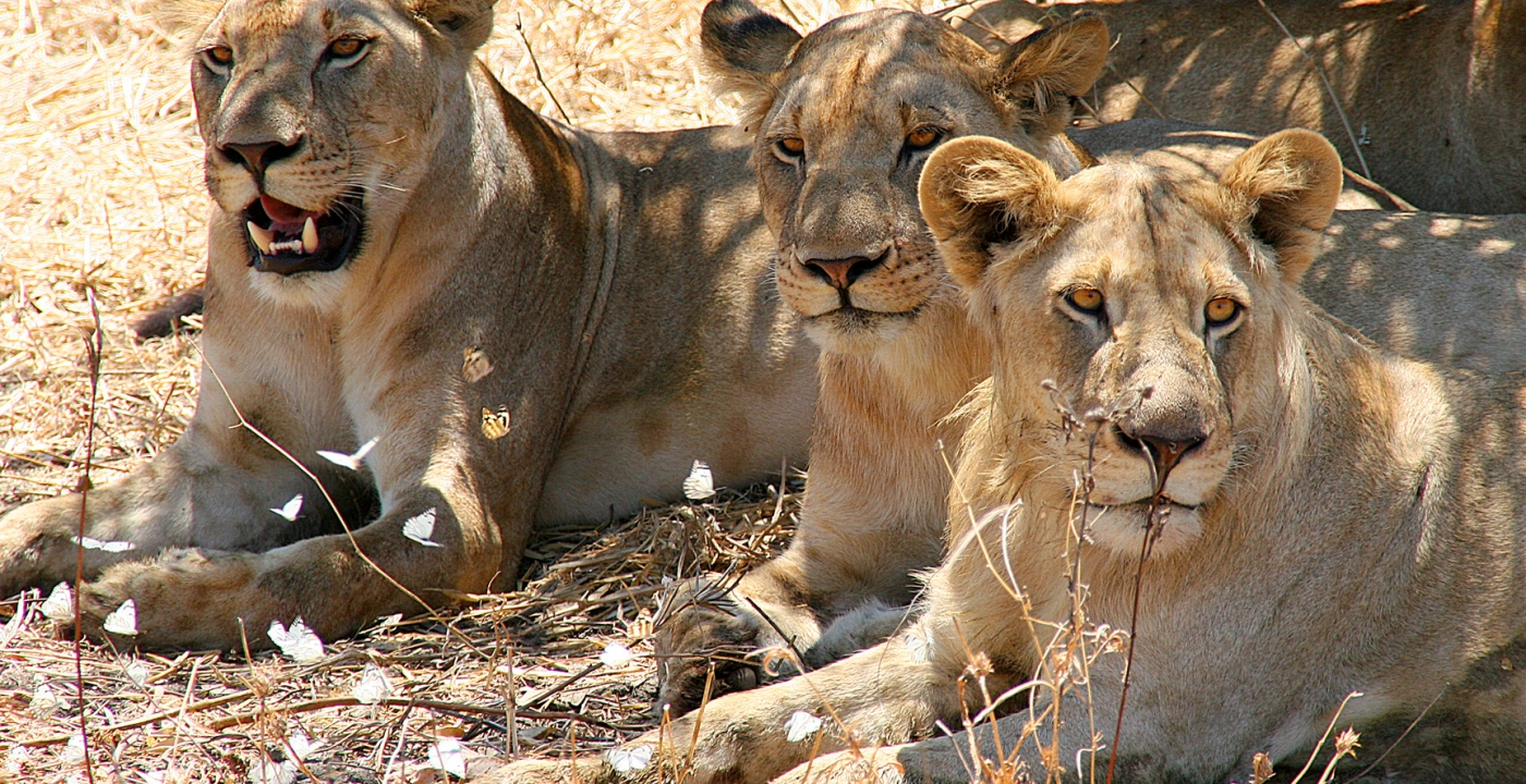 AFRIQUE-animal-lions-barbara-schneider