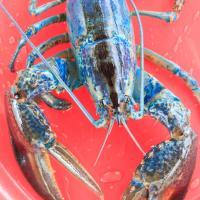 Le homard du Nouveau-Brunswick