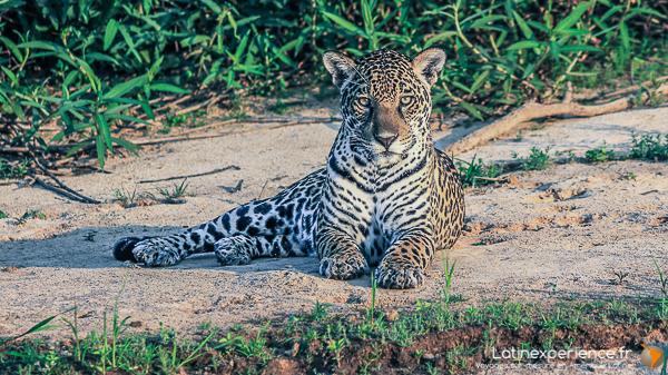 latinexperience bresil jaguar
