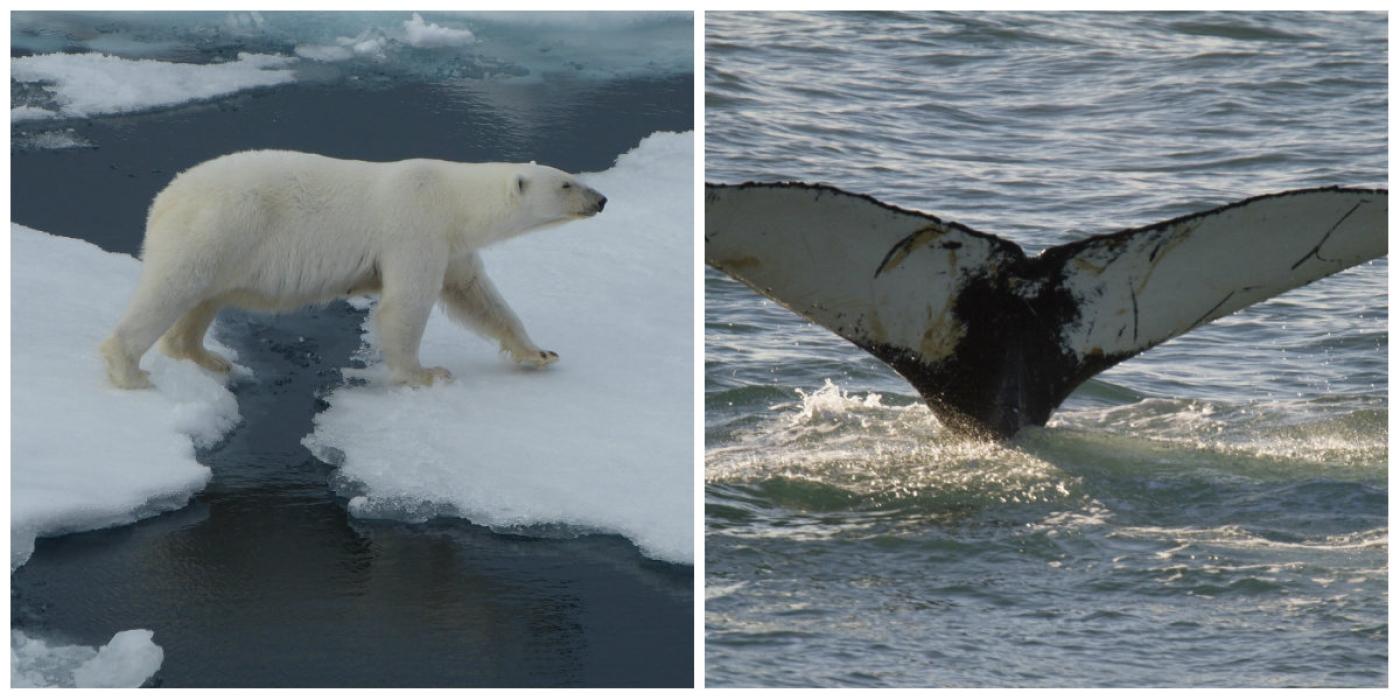 Photo d'un ours et d'une queue de baleine